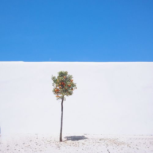 Orange tree Shootermag IPhoneography VSCO Vscocam Minimalobsession IPSMinimal NEM Submissions IPSWebsite IPS2015Color