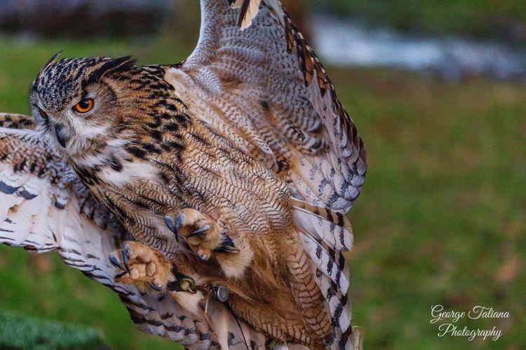Countryside Canon Owl Animals Bird Birdofprey Flying