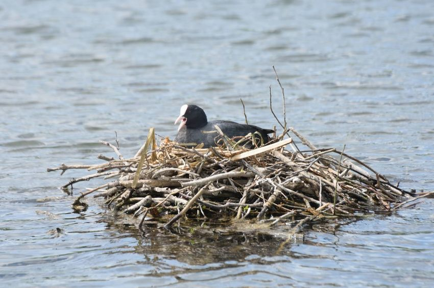 coot sitting on nest out on water Coot Animal Nest Animal Themes Animal Wildlife Animals In The Wild Bird Nest Nesting Birds Nesting Place Water