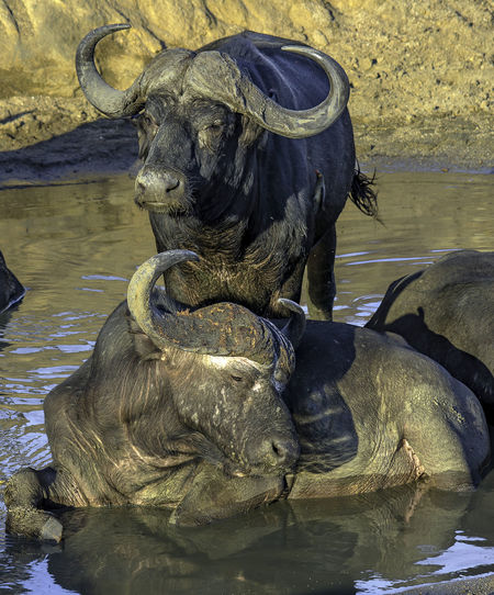 Buffalo Game Drive Water Buffalo Animal Animal Themes Animal Wildlife Animals In The Wild Art And Craft Day Group Of Animals Mammal Nature No People Reflection Safari Two Animals Vertebrate Water Waterfront Watering Hole