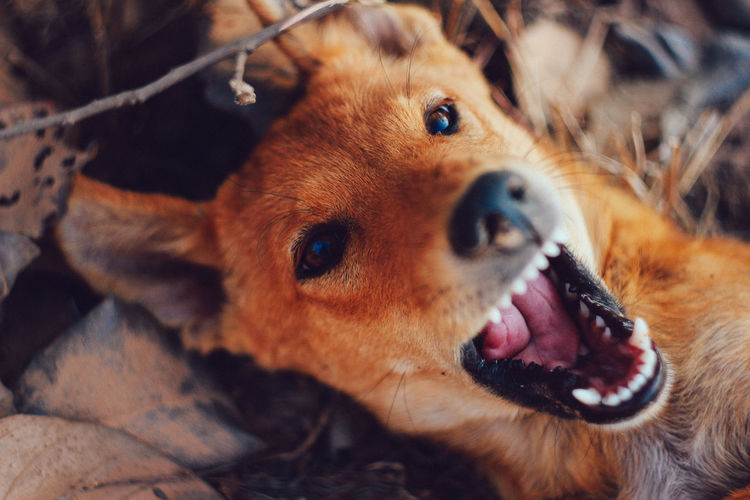 Mammal Canine Animal Themes Animal One Animal Dog Domestic Domestic Animals Pets Animal Body Part Vertebrate Close-up No People Animal Head  Portrait Looking At Camera Mouth Open Brown Mouth Focus On Foreground Animal Mouth Animal Nose Snout