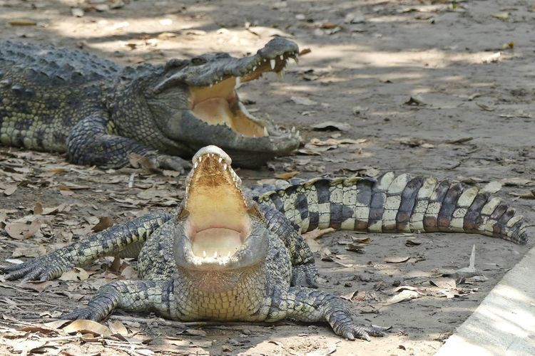 Relax Siamese Crocodile Animal Crocodile Crocodile Eyes Crocodile Farm Crocodile Hunter Crocodile Teeth Crocodileskin Dinosaur Nature No People Outdoors Siamese Crocodile จระเข้