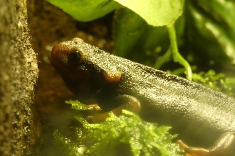 Newt Reptile