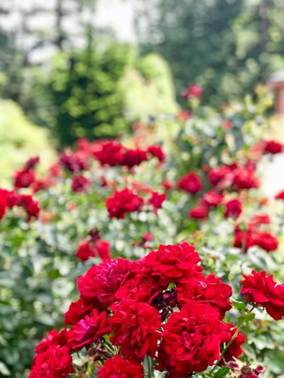Natural wonders of the Rose Garden #portland Flowering Plant Flower Plant Red Fragility Vulnerability  Beauty In Nature