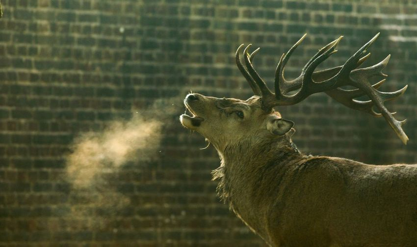 Close-up of deer against brick wall