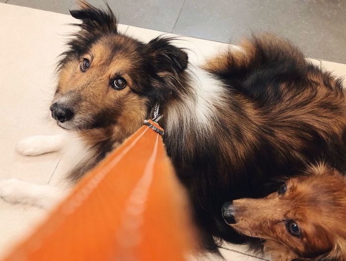 Pets Dog Domestic Animals Mammal Animal Themes One Animal Indoors  No People Day Close-up Leading Lines Dogs Cute Pets Diagonal Orange Leash Shetland Sheepdog Dachshund