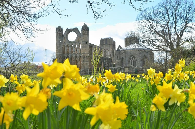 Elgin Elgin Cathedral Places Of Worship Ruins Architecture Flower Plant Cloud - Sky Yellow Landscape Flowering Plant Sunset Building Architecture Building Exterior Built Structure Springtime Spring Visitor Attraction