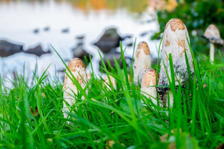 Close-up of mushrooms in field