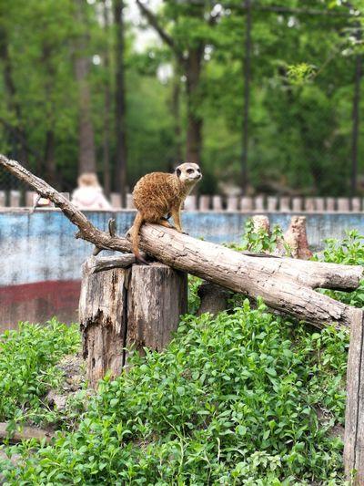 Szurikáta Szegedzoo Zoo