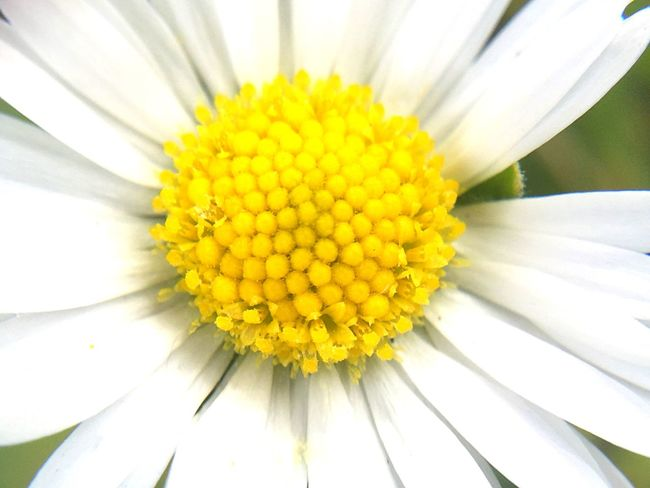 Flower Yellow Petal Fragility Flower Head Freshness Close-up Detail Full Frame Backgrounds White Color Single Flower Growth Extreme Close-up Beauty In Nature Daisy Bloom Pollen Nature Softness Macro