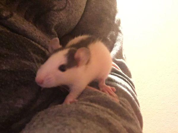 Avy Avy Rats Cute Loverat Rat Love ♥ Loverats Animal