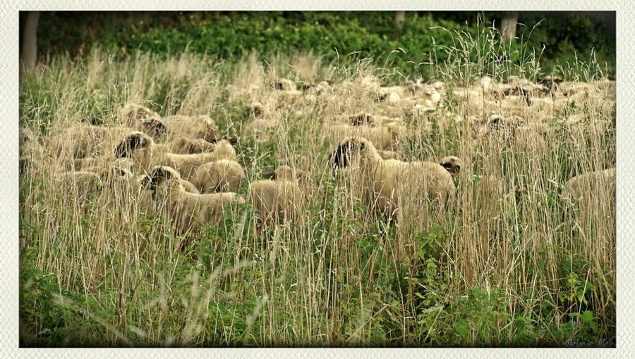 Nature Natur Autumn Sheep Herbst Grün Bochum Sheeps Schaf  Ruhr  Wiese  Gras  Dahlhausen