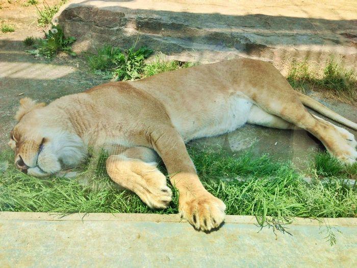 High angle view of lion sleeping on field