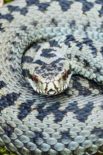 Full frame shot of coiled viper