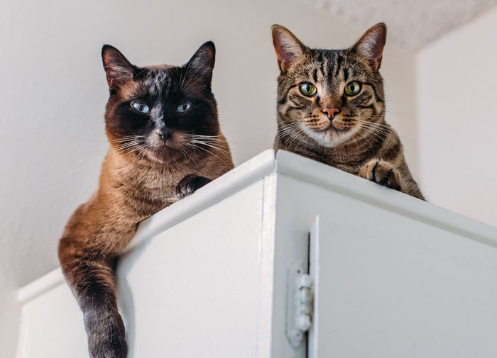 Cat Cats Two Cats Cats Of EyeEm Catsofinstagram Animals Siamese Cat Domestic Pets Mammal Animal Animal Themes Domestic Animals Domestic Cat Feline Group Of Animals Portrait Two Animals Looking At Camera No People Vertebrate Indoors  Whisker Sitting Togetherness