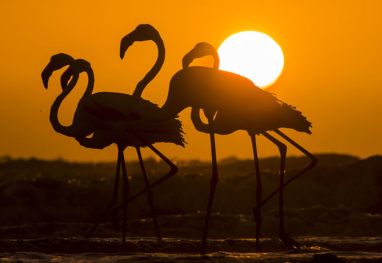 Silhouette birds on land against sky during sunset