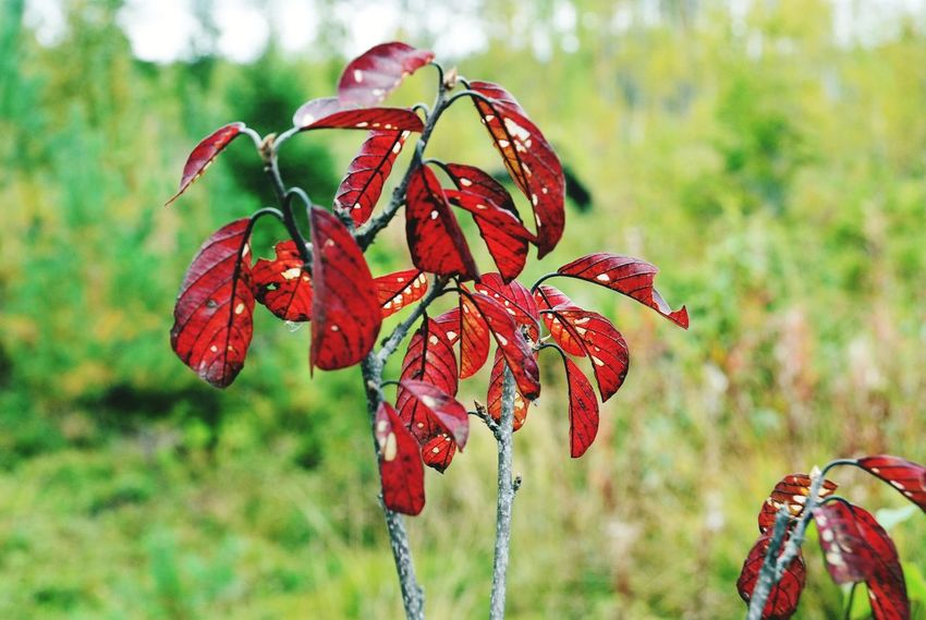 Nature Red Focus On Foreground Plant Leaf Day No People Flower Close-up Beauty In Nature