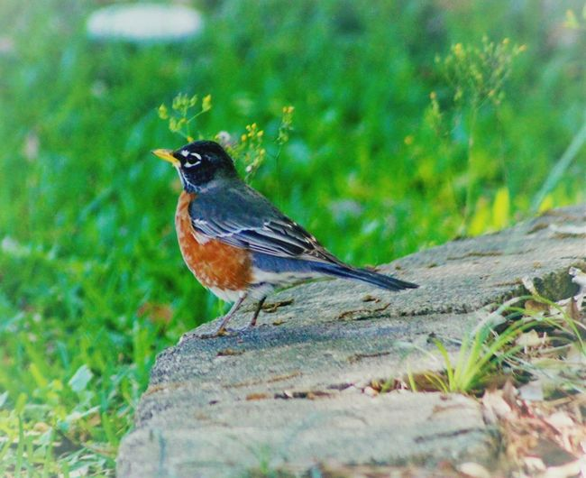 Robins have been in our area since January. Early Bird Animals In The Wild One Animal Bird Animal Themes Animal Wildlife Nature Perching Day Outdoors Full Length Beauty In Nature No People Close-up Robins Popular Photos Eye Em Nature Lover Beauty In Nature My Photography