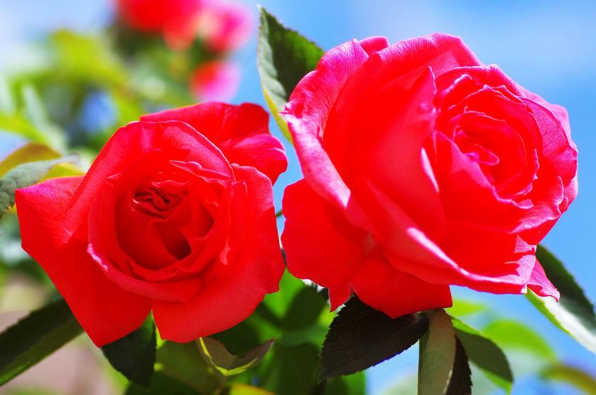two roses against blue sky Close-up Flower Flower Head Flowering Plant Fragility Nature Petal Red Rosé Rose - Flower