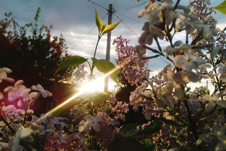 Plant Sunlight Sky Growth Tree Sunbeam Nature Flower Beauty In Nature Sun Flowering Plant Lens Flare Back Lit No People Outdoors Tranquility Freshness Land Day Field