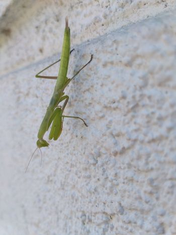 Animal Themes Animal Wildlife Animals In The Wild Beauty In Nature Close-up Day Grasshopper Green Color Insect Leaf Nature No People One Animal Outdoors Plant Praying Mantis