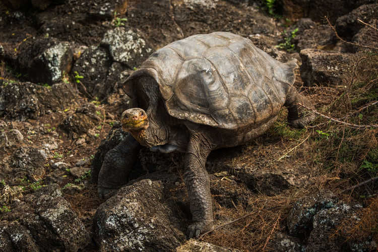 Close-up of giant tortoise on rock