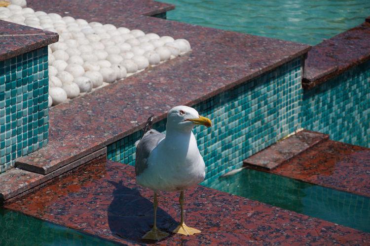 Seagull perching on swimming pool