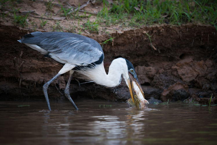 High Angle View Of Gray Heron In Water