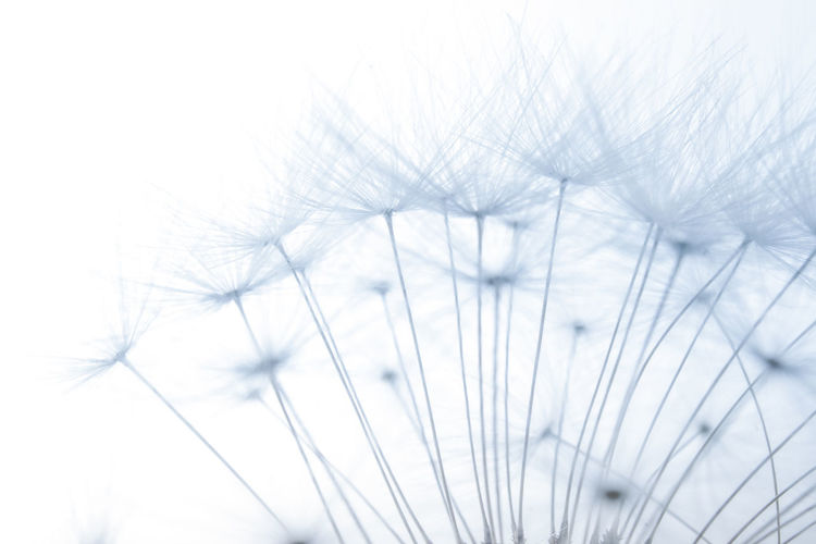 Backgrounds Beauty In Nature Clear Sky Close-up Dandelion Day Flower Focus On Foreground Fragility Growth Low Angle View Nature No People Outdoors Plant Selective Focus Sky Softness Stem White Color