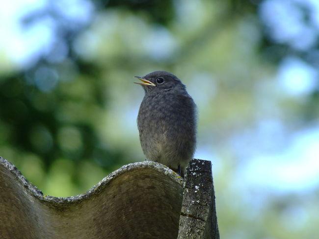 Bird Day Nature One Animal Black Redstart Chicken - Bird Nestlings Nestling Fledging On Fence Fledging Chic