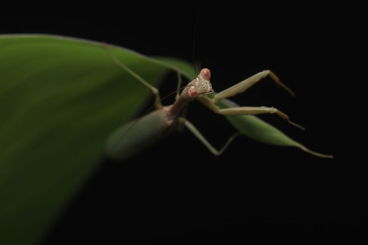 Close-up of insect on leaf against black background