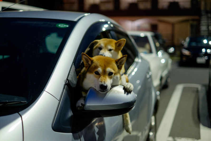 Portrait of shiba inu dogs traveling in car