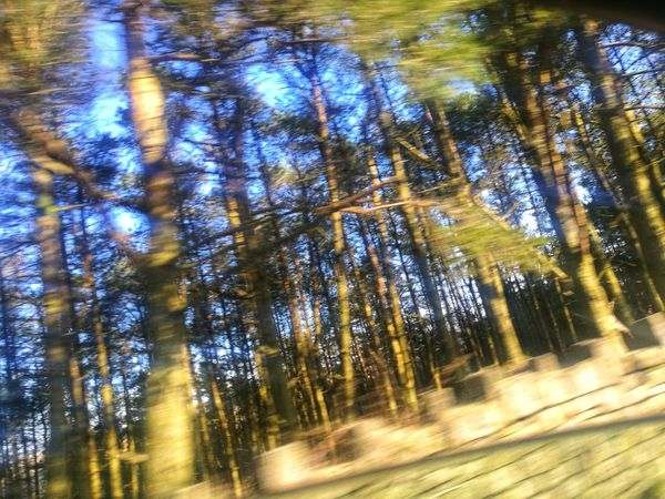 Driving Fast Pine Trees Tree Nature Forest Sunbeam Sunlight WoodLand Beauty In Nature