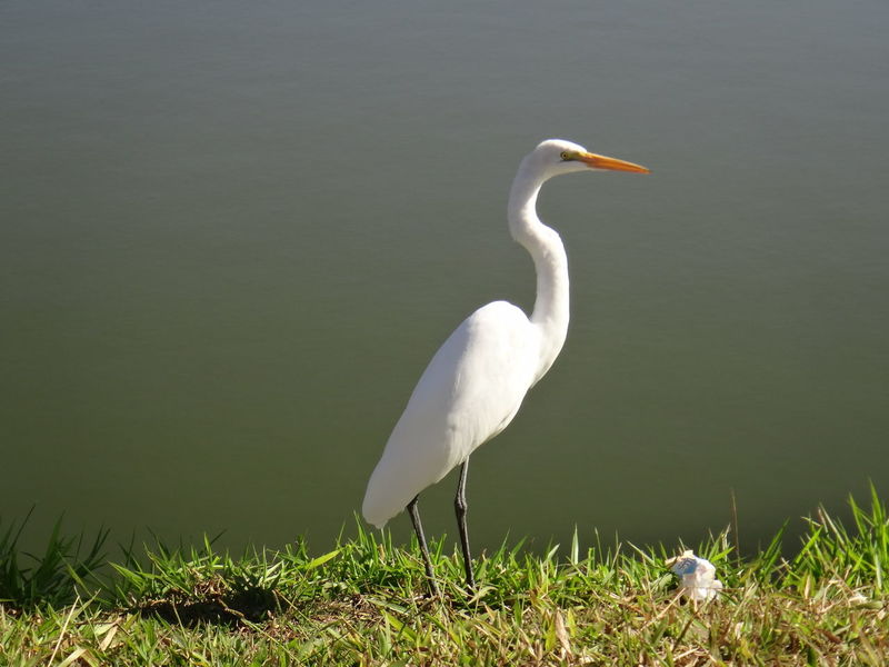 Ardeidae Animal Themes Animal Wildlife Animals In The Wild Ardea Beauty In Nature Bird Bittern Crane - Bird Day Egret Grass Great Egret Heron Lake Lake Long Beak Long-legged Nature No People One Animal Outdoors Plume Water White Color