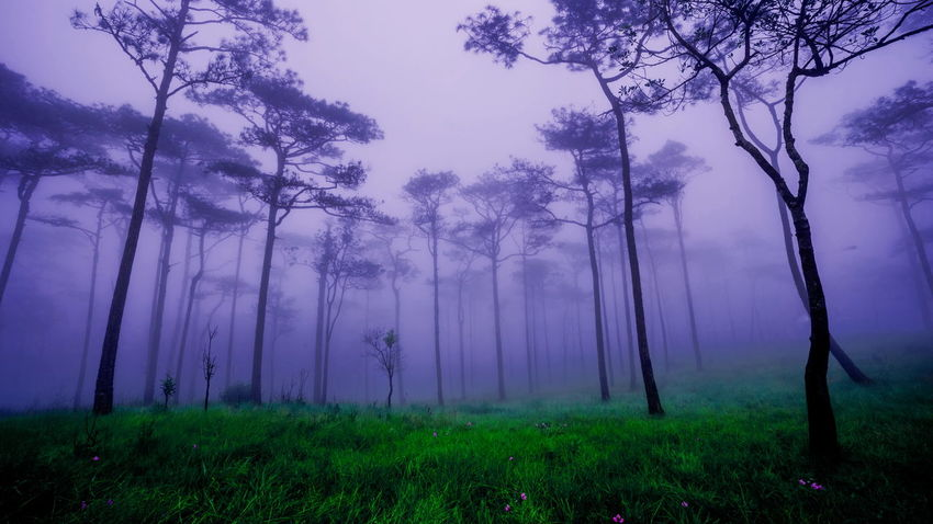 pine forest and field Field Pine Beauty In Nature Branch Day Fog Forest Grass Growth Hazy  Landscape Meadow Mist Nature No People Outdoors Pine Tree Pine Wood Scenics Sky Tranquil Scene Tranquility Tree