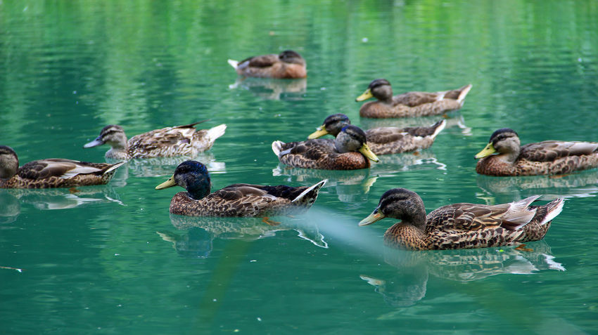 Animal Family Bird Duck Duck Family Lake Nature Outdoors Water