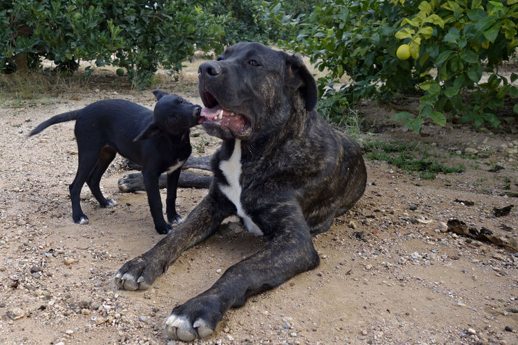Big and small dogs playing Animal Animal Themes BIG Black Color Dog,pet Friends Mammal No People Pets Play Playing Portrait Puppy Small Tongue Young Young Animal