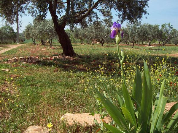 Syria Olive Trees Sassoon Flower Of Sassoon Olive Tree Growth Tree Agriculture Field Nature Outdoors Beauty In Nature