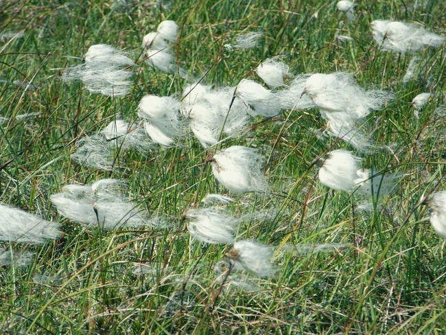 Bog cotton Native Plant Grass Seed Head Bogland Nature's Diversities Sheep's Head Way West Cork Wildatlanticway Ireland
