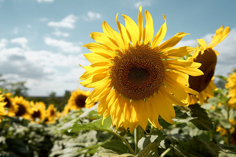 Sunflower 20180701 Beauty In Nature Close-up Day Flower Flower Head Flowering Plant Focus On Foreground Freshness Growth Nature No People Outdoors Plant Pollen Sky Sunflower Yellow