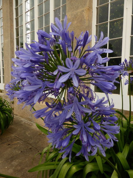 Agapanthus Blooming Close-up Flower Growing Growth Nature Purple