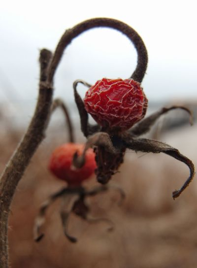 Retired. Wrinkled Wild Rose Photography Outdoors Dried Rosehips Close Up Focus On Subject Blurred Background