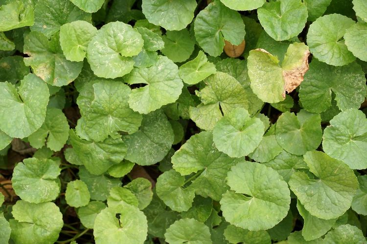 Asiatic Pennywort Herb Backgrounds Beauty In Nature Centella Asiatica Close-up Day Evergreen Fragility Freshness Full Frame Gotu Kola Green Color Growth Houseplant Large Group Of Objects Leaf Leaves Nature No People Outdoors Plant Vegetable