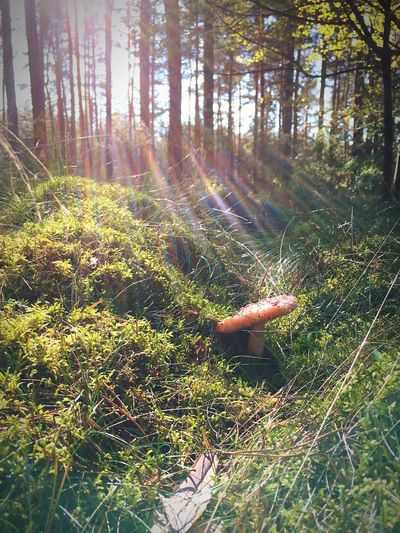 Ein Pilz in der Sonne Ungenießbar Giftig