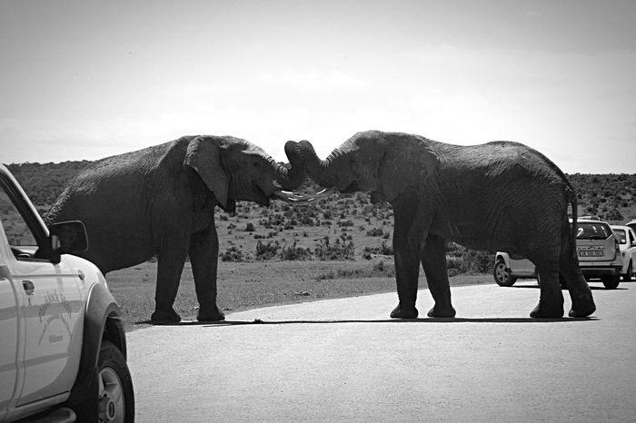Addoelephantpark South Africa Addo Elephant Elephants Safari Dec 2014