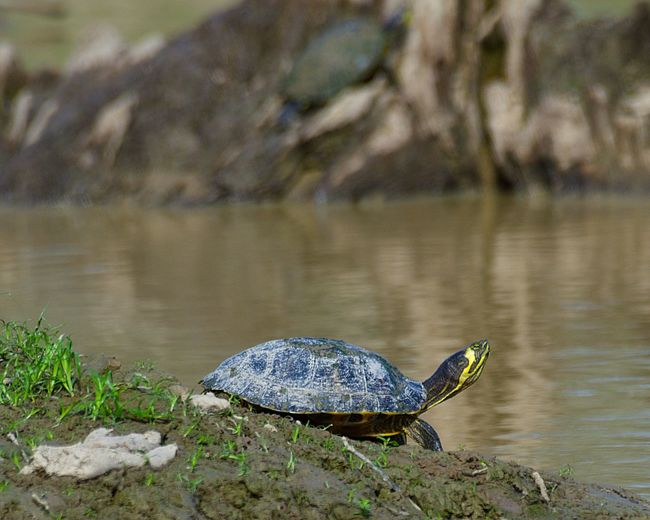 High angle view of a turtle on rock in lake