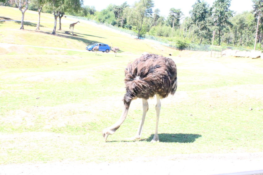 Animal Themes Animal Wildlife Animals In The Wild Beauty In Nature Bird Check This Out Day Enjoying Life Eye4photography  EyeEm Best Shots EyeEm Nature Lover Field Full Length Grass Landscape Mammal Nature No People One Animal Ostrich Outdoors Taking Photos Tree