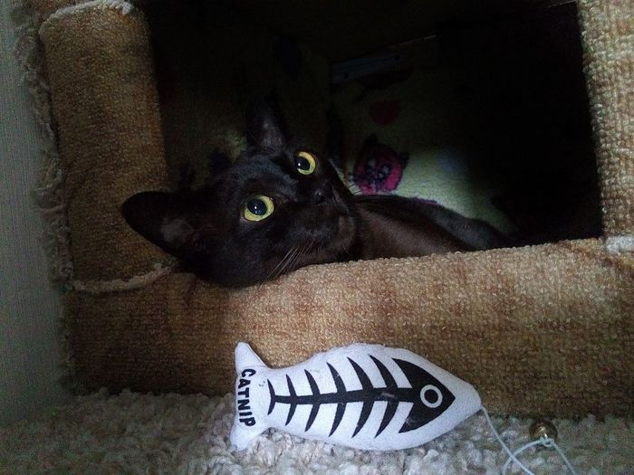Pets Animal Themes Close-up One Animal Cats 🐱 Cats Of EyeEm Наш бурмачек Pet Portraits