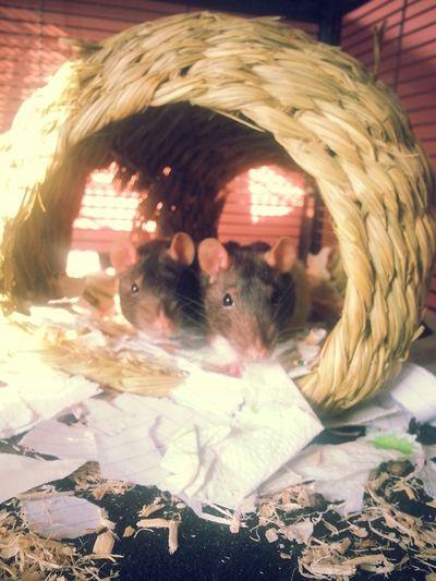 Rats ♡ Fliters