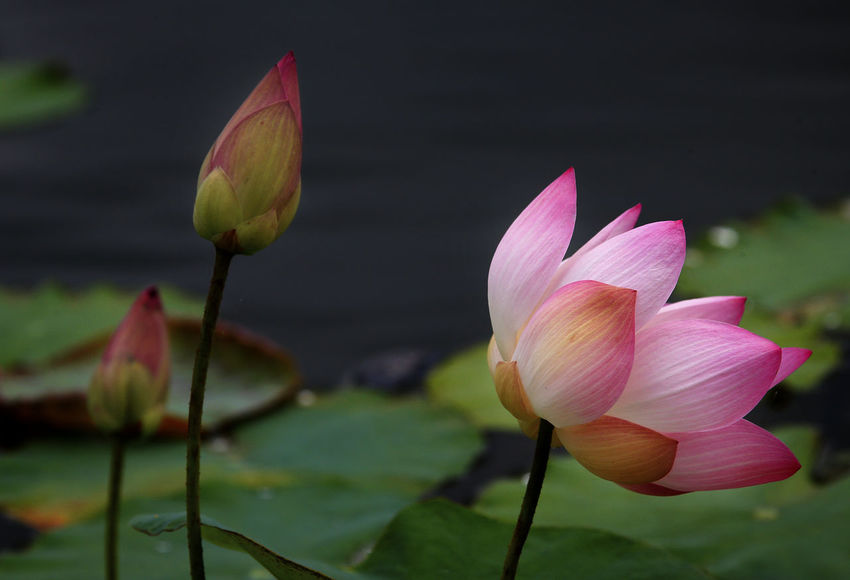 Beauty In Nature Close-up Floating On Water Flower Flower Head Flowering Plant Fragility Freshness Growth Inflorescence Lake Leaf Lily Lotus Water Lily Nature No People Petal Pink Color Plant Vulnerability  Water Lily